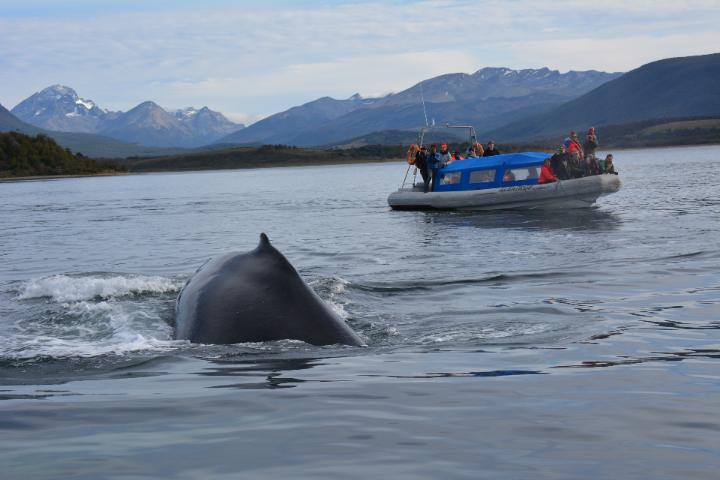 whale near Ushuaia