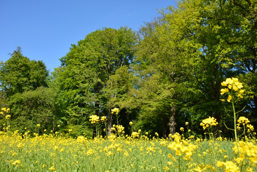 Fietsen Utrechtse heuvelrug geel veld met koolzaad