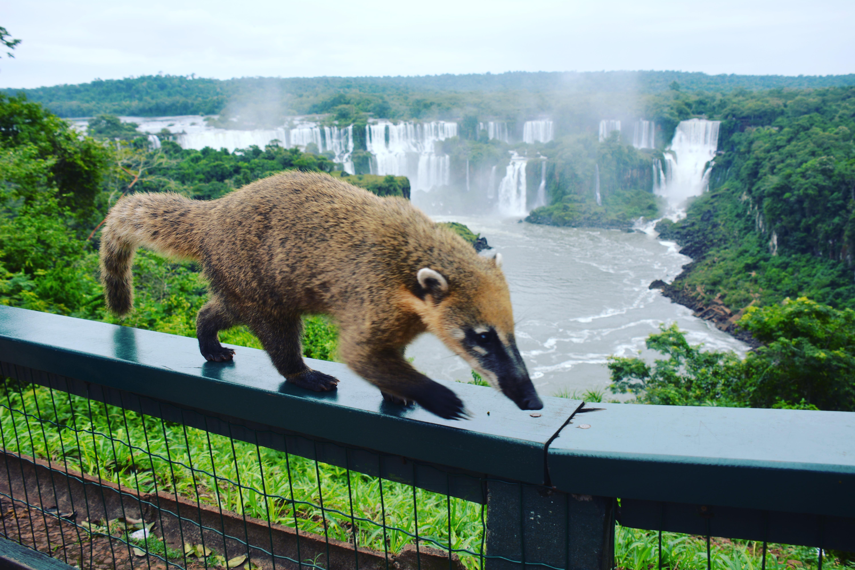 neusbeertje bij Iguazu watervallen
