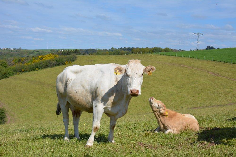koeien op de hoogvlakte in de Eifel