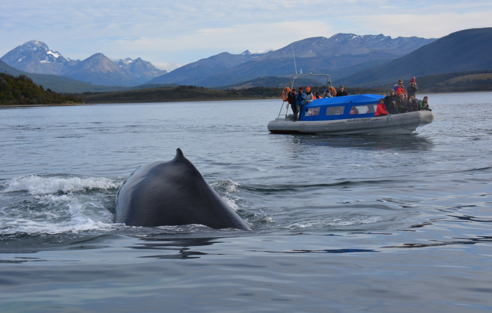 Humpback Whale Vuurland Beagle Channel