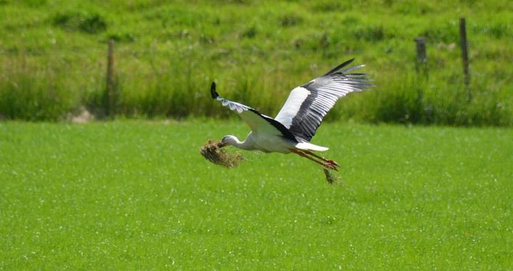 Ooievaar op weg naar het nest bij Megen