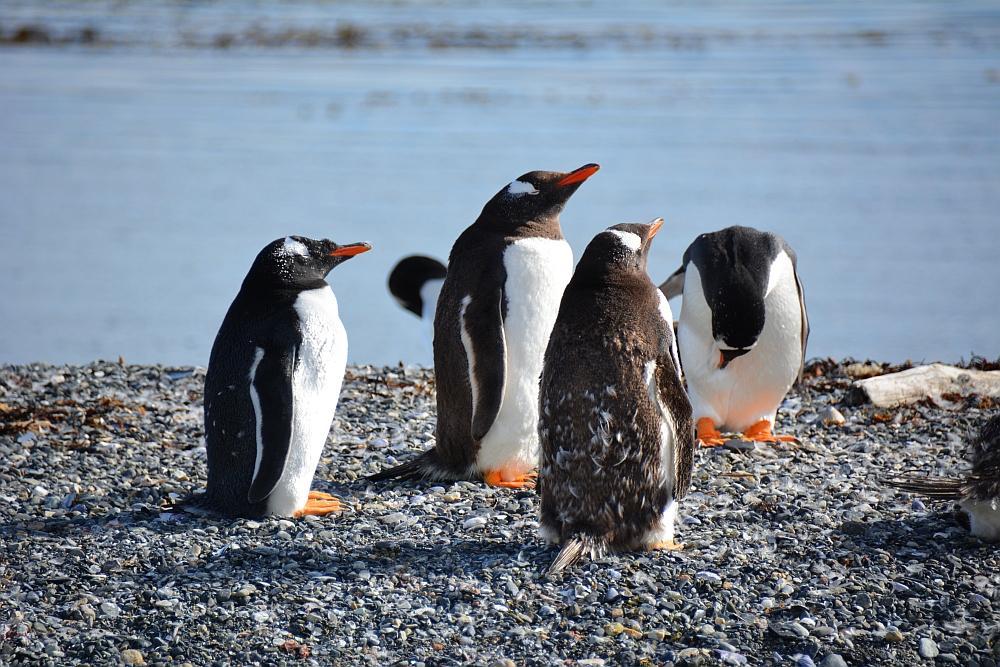 Pinguins op Isla Martillo Vuurland