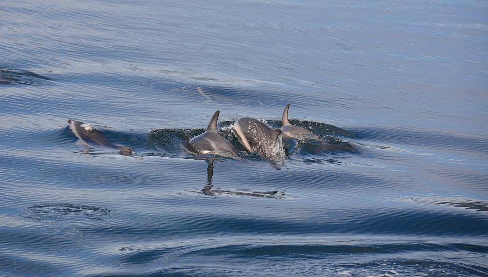 dolfijnen op het Beagle kanaal