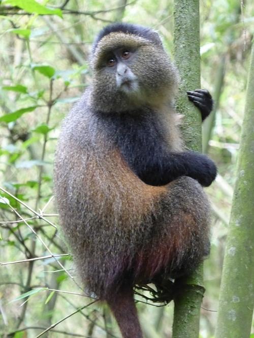golden monkey Rwanda emigreren Marouschka