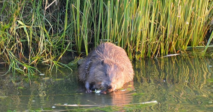 knagende bever tijdens weekendje weg in de Biesbosch
