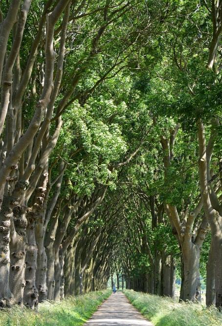 lange laan met bomen bij Megen