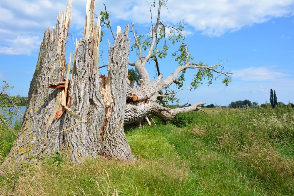 stuinpad langs Maas omgevallen boom