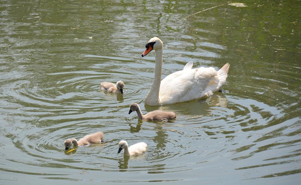 zwaan met jongen in de Biesbosch