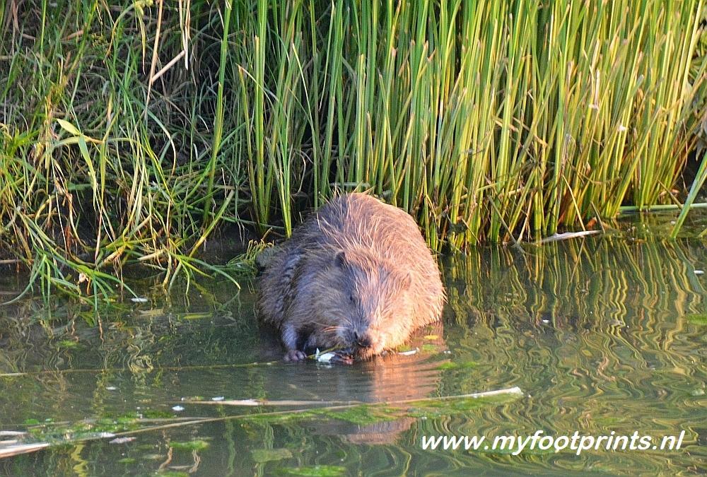 Bever in de Biesbosch bij camping de Knotwilg