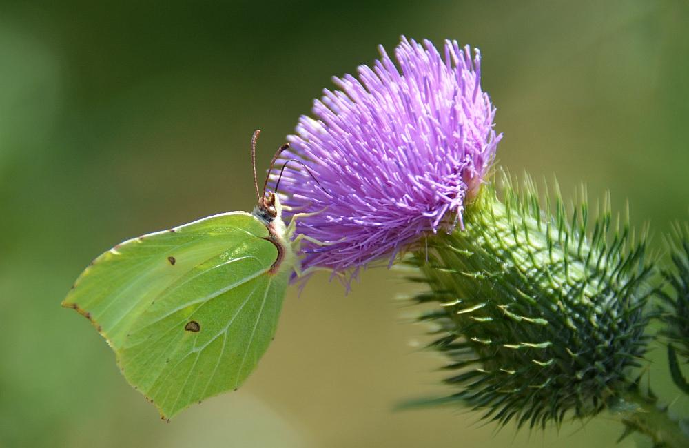 luzern vlinder in het hart van Brabant