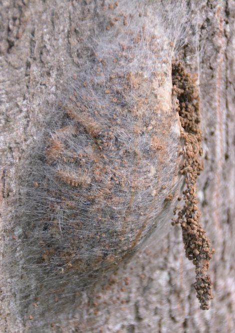 nest eikenprocessierups op stam