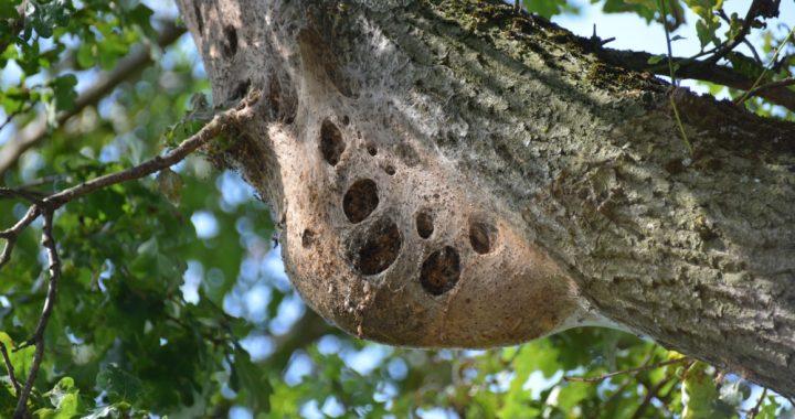 nest van eikenprocessierups