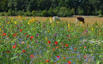 wilde bloemen langs weiland in hart van Brabant
