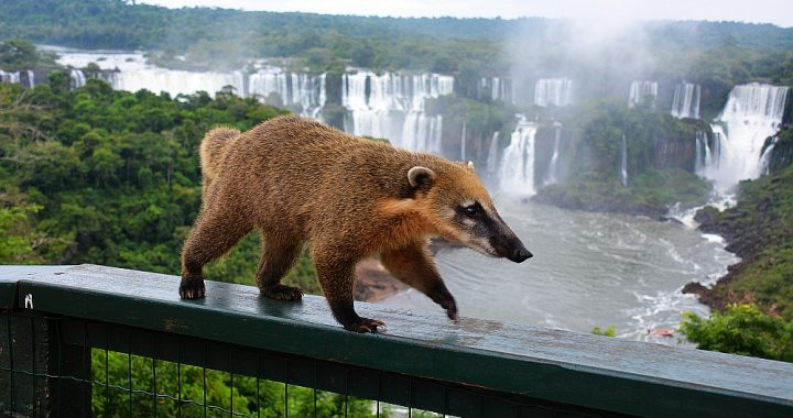 Iguazu watervallen neusbeer