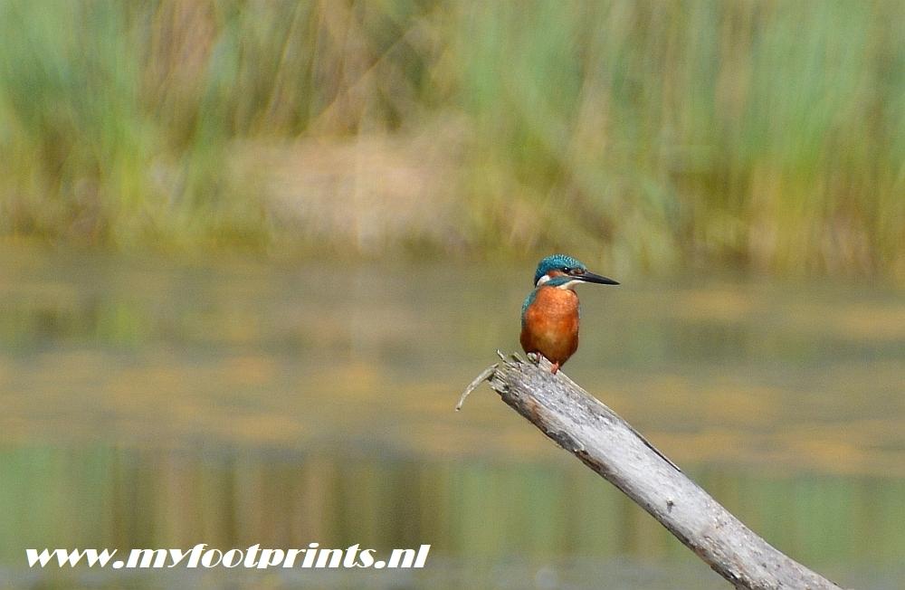 Ijsvogel in het Hageven foto van de maand