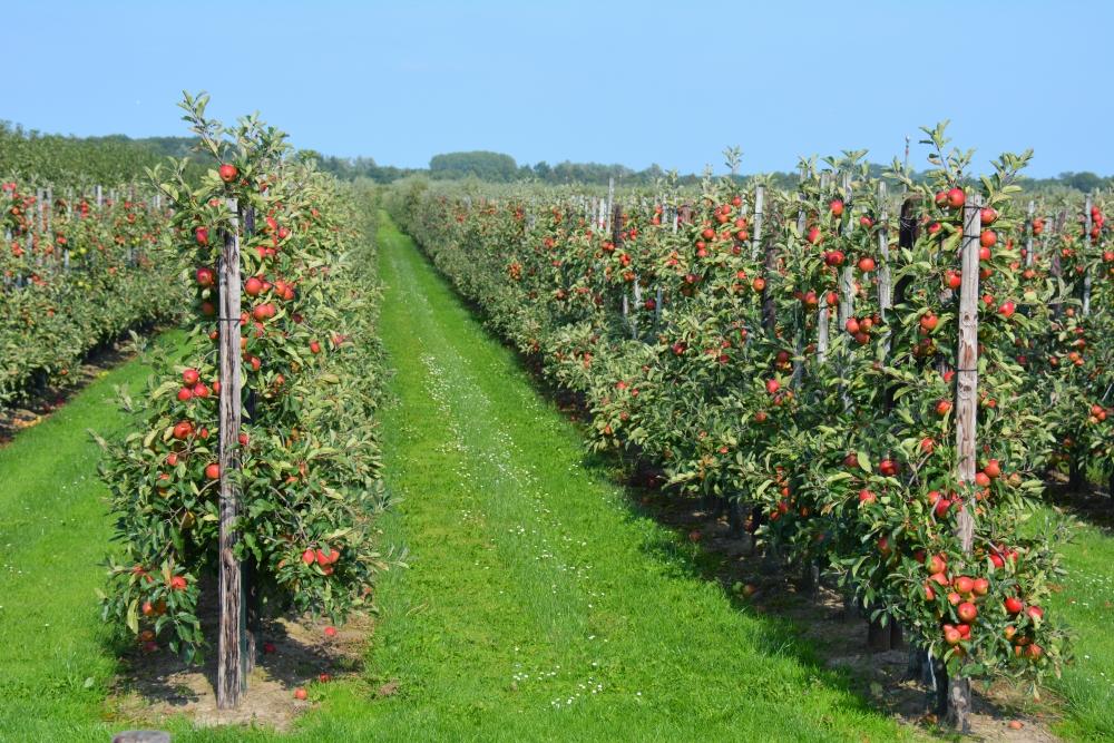 appelboorgaarden langs fietsroute bij Zeist