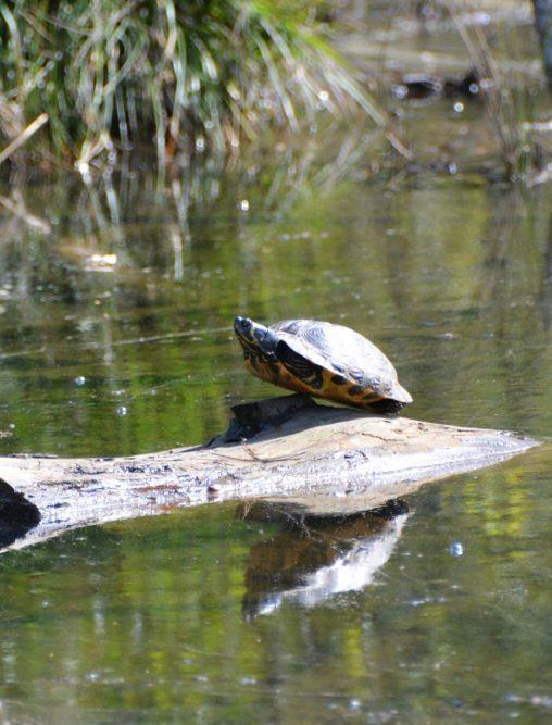 schildpad bij Brunssummerheide