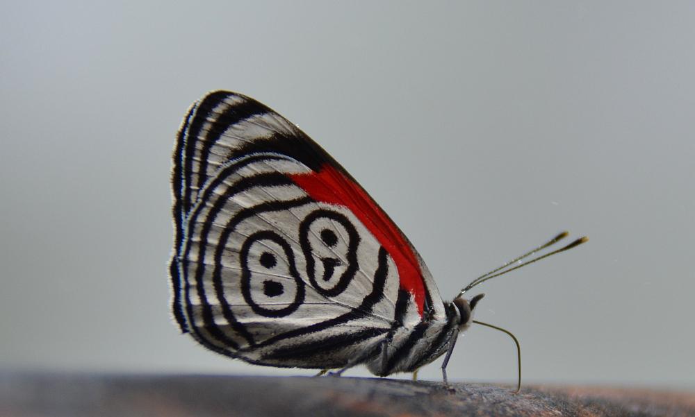 vlinder Argentinië