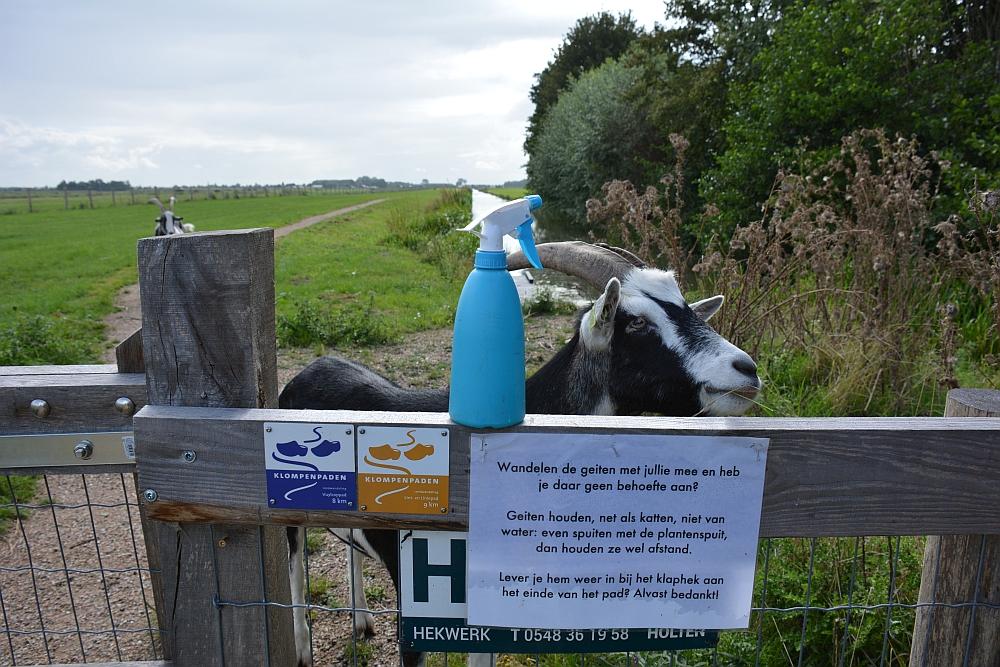 Nieuwsgierige geit op Klompenpad Lint- en Liniepad