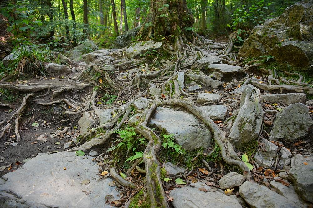mooiste wandelingen in de Ardennen boomwortels op de wandelroute