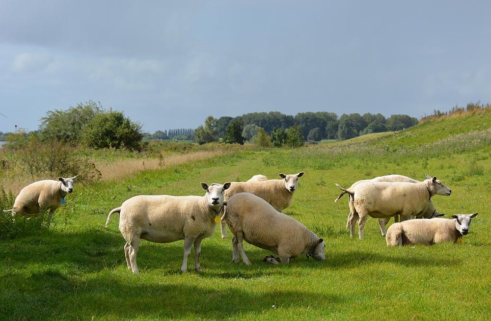 schapen op het Klompenpad Lint- en Liniepad
