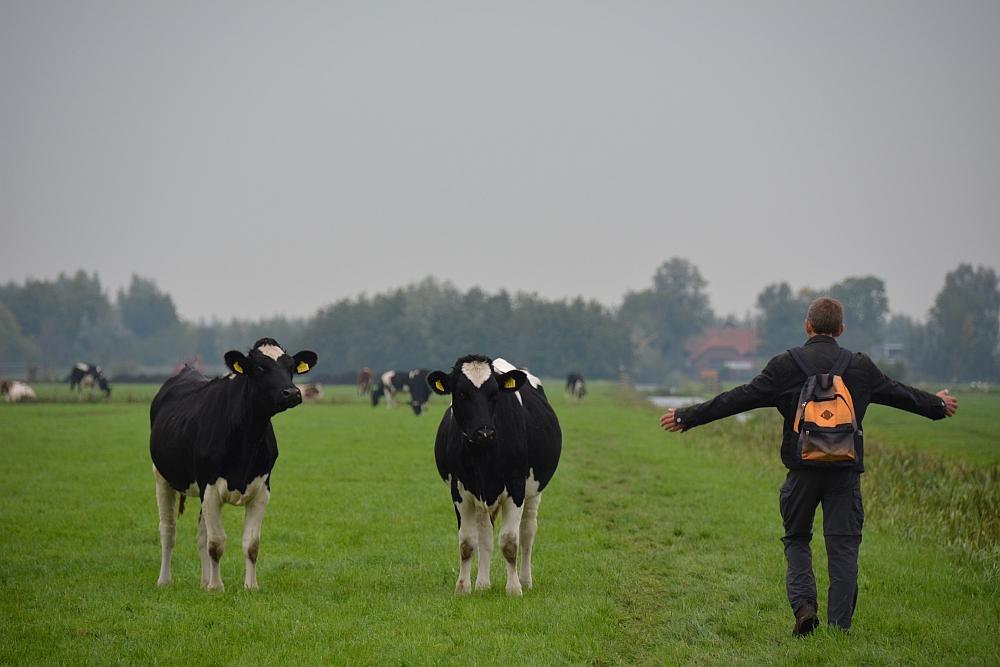 Nieuwsgierige koeien op de Cockangeroute bij Kamerik