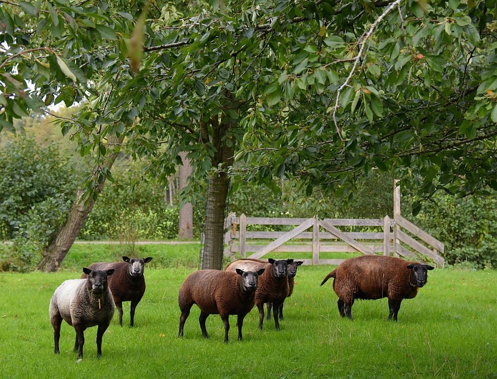 schapen wandelroute rondje Haarzuilens