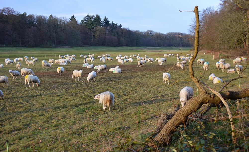 schapen in het Renkums Beekdal