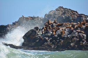 zeeleeuwen kust van Chili