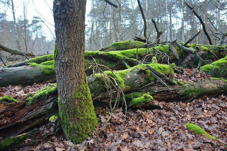 bemoste bomen in de Herperduinen
