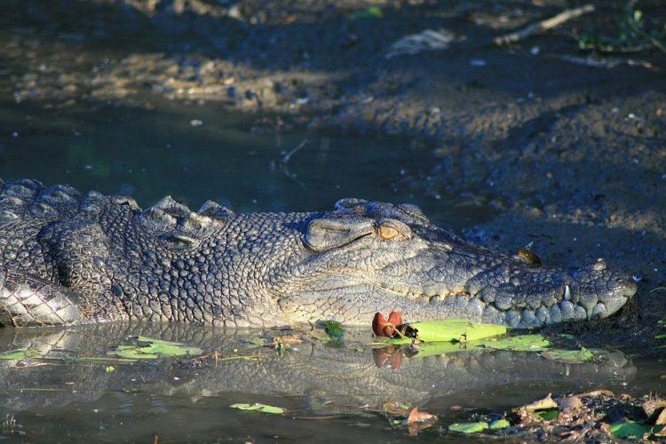krokodil in Kakadu Australië