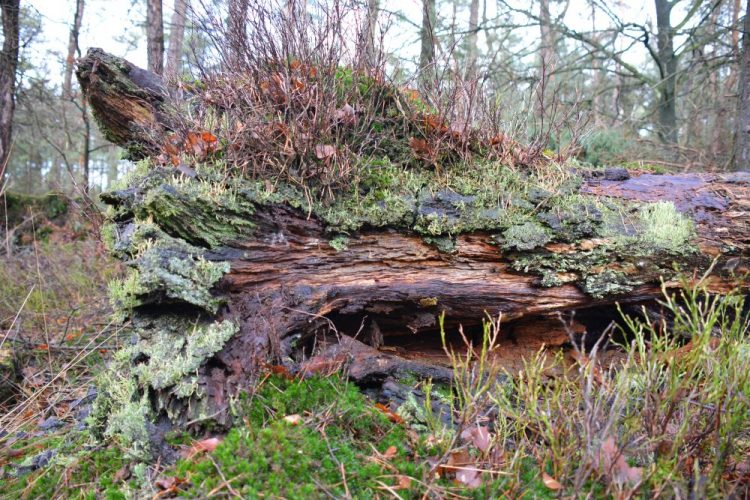 oude boomstam in Planken Wambuis