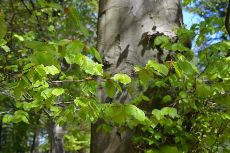 beukenbomen in boswachterij Gees