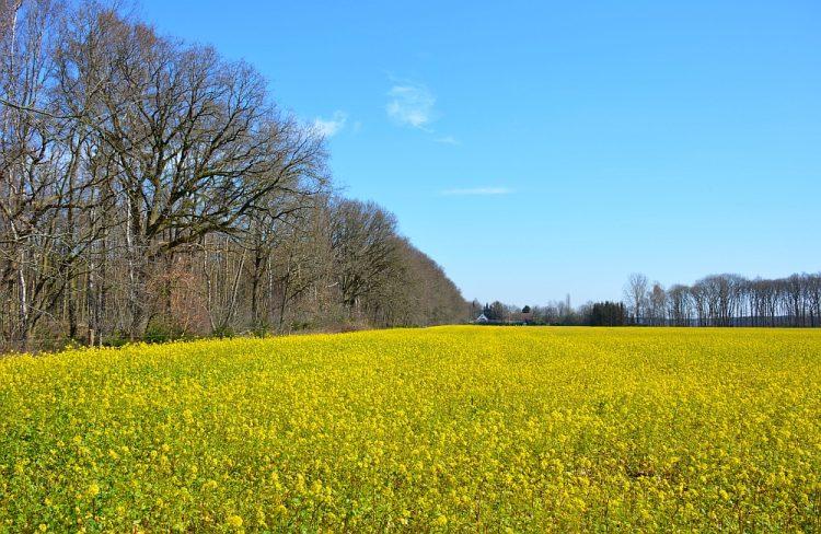 geel veld met raapzaad tijdens Trage Tocht Waalwijk