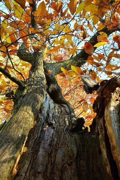 oude beukenbomen in het Hobos bij Neerpelt