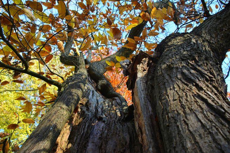 oude beukenboom in herfstkleuren Hobos Neerpelt Bosland