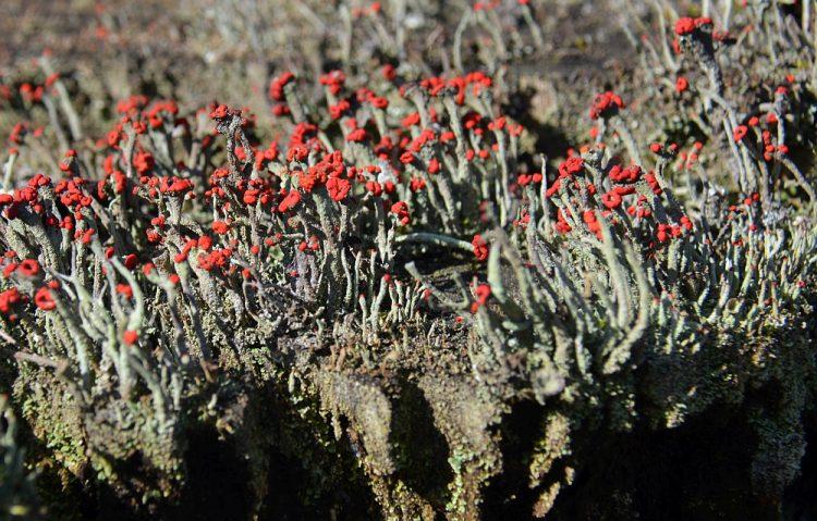 rode heidelucifer op Groote Heide bij Leende