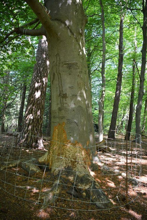 bever vraatsporen op boomstam Swalm Limburg
