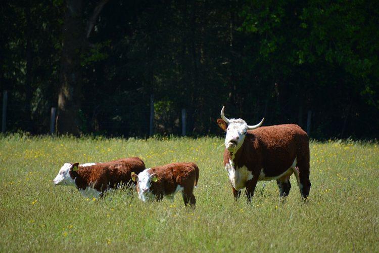 koe en kalfjes in weide bij Weerterbos