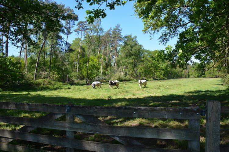 koeien in het weerterbos