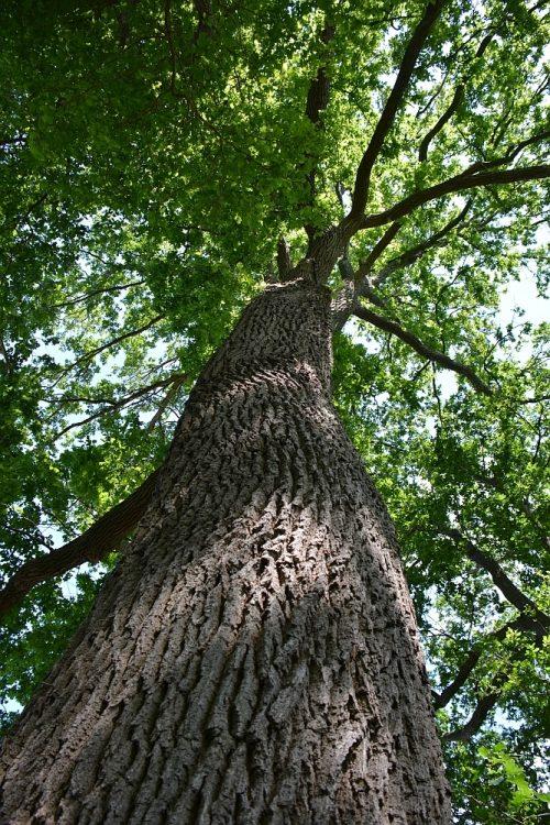 oude eikenboom op Landgoed Slangenburg Doetinchem