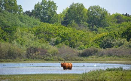 Schotse Hooglander in Noordhollands Duinreservaat
