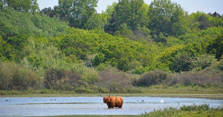 Schotse Hooglander in Noordhollands Duinreservaat