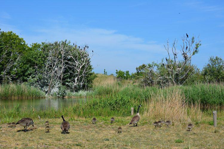 ganzen en broedende aalscholvers Noordhollands Duinreservaat