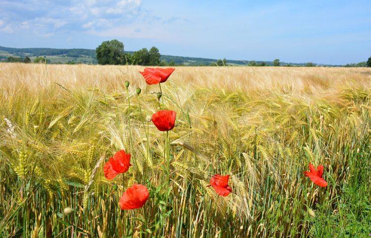 klarpozen in korenveld Vijlen Limburg
