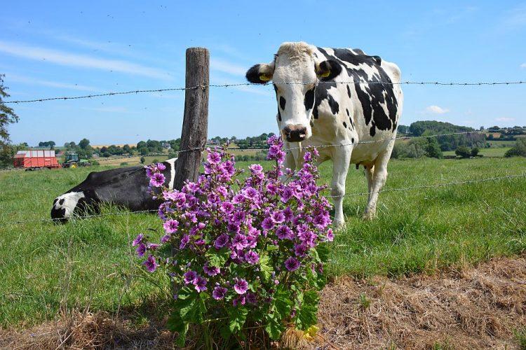 koeien in Vijlen Limburg