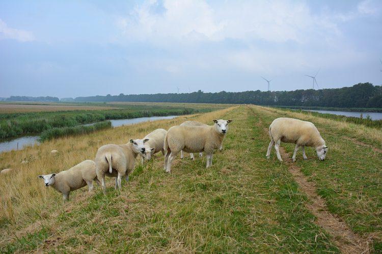 schapen langs het Noord-Hollandpad