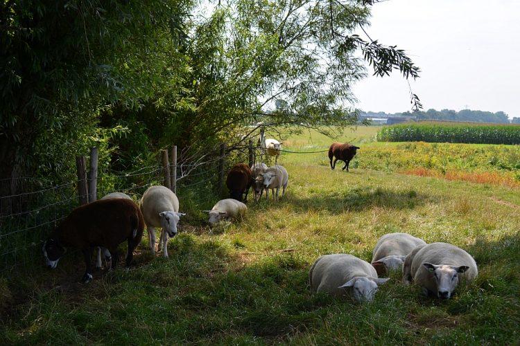 schapen zoeken verkoeling op hete dag in zomer