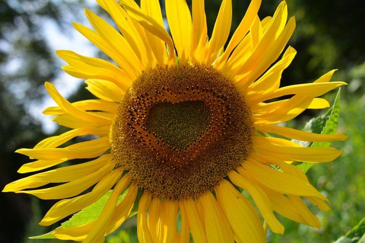 zonnebloem met hart langs klompenpad Doorwerth